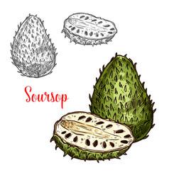 soursop sketch exotic fruit vector image