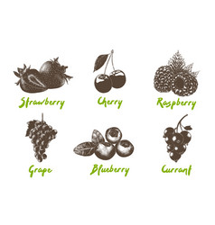engraved style organic berries collection vector image