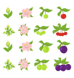 Fruits growth stages cherries and plum damsons vector