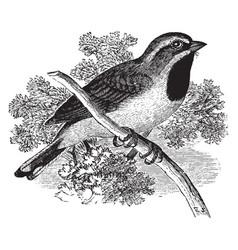 Black throated sparrow vintage vector