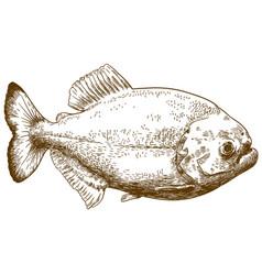 Engraving drawing of piranha vector