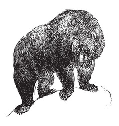 Grizzly bear vintage vector