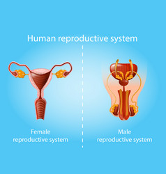 human reproductive system anatomy scheme vector image