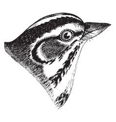 lark sparrow vintage vector image