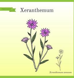 Annual everlasting or immortelle xeranthemum vector
