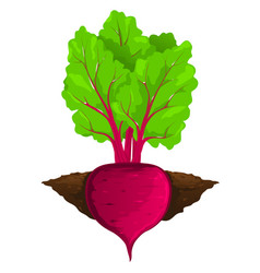 Beet grow in ground vector