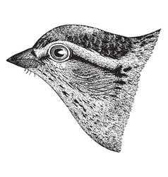 Chipping sparrow head vintage vector