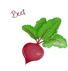 isolated cartoon fresh hand drawn beet vector image