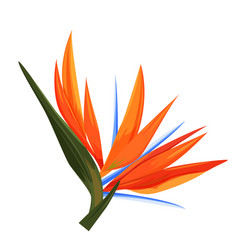 strelitzia flower single isolated tropical plant vector image