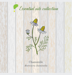 Chamomile essential oil label vector