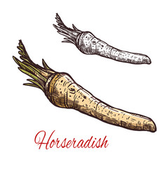 Horseradish vegetable root sketch for spice design vector