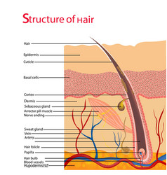 Structure and cycles of hair growth on a human vector