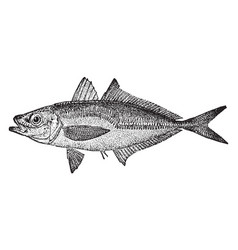 Atlantic horse mackerel vintage vector