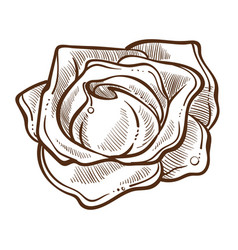 Rose bud flower with water drops isolated vector