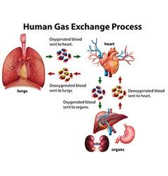 Human gas exchange process diagram vector image vector image