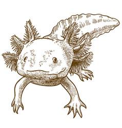 Engraving antique axolotl vector