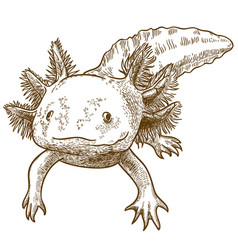 Engraving antique of axolotl vector