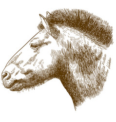 engraving of przewalskis horse head vector image