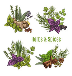 fresh herb and spice sketches for food design vector image