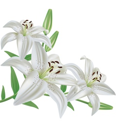 Flower lily isolated on white background vector image vector image