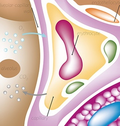 Perfusion of blood through the capillaries of the vector image vector image