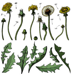 dandelions with leaves flower vector image