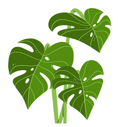 fresh green monstera leaves tropical vector image