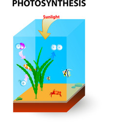 Photosynthesis cross section vector image vector image