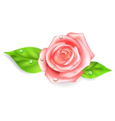 Pink rose with dew drops vector image