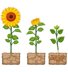 sunflowers growing from the ground vector image