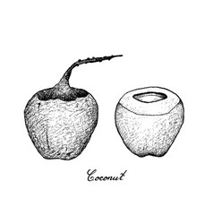 hand drawn of coconut fruits on white background vector image