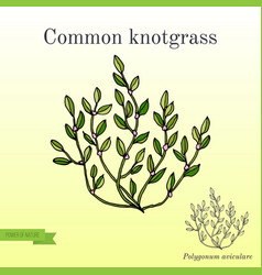 Polygonum aviculare or common knotgrass vector