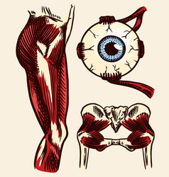 anatomy human thigh muscles eye and pelvis vector image