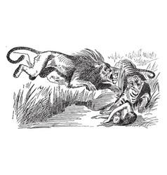 Lions vengeance on bengal tiger vintage vector