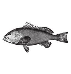 Red grouper vintage vector