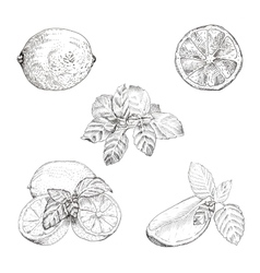 Lime and mint ink sketch set vector