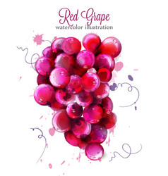 Red grapes watercolor painted splash style vector