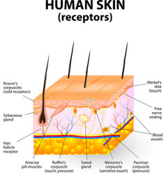 cross section human skin vector image