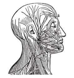 Facial nerve vintage vector