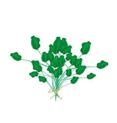 A Fresh Green Watercress on White Background vector image