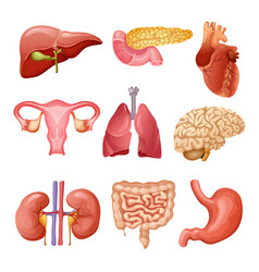 cartoon human organs set vector image