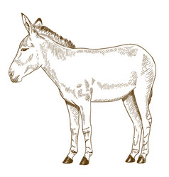 engraving drawing of somali wild ass vector image