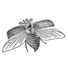 cockchafer vintage vector image