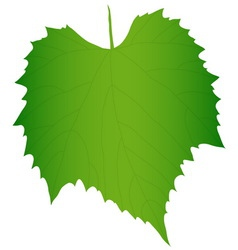 Green grape leaf vector image
