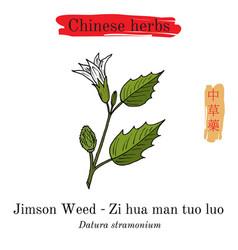 Medicinal herbs of china jimson weed datura vector