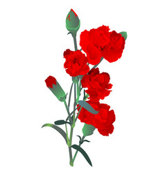 Red carnation flowers bouquet isolated on white vector