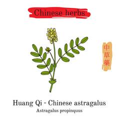 Medicinal herbs of china milkvetch chinese vector