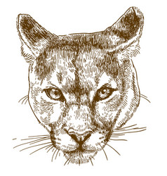 Engraving of cougar head vector