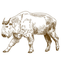 Engraving drawing of golden takin vector