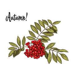 hand-drawn rowan branch with red berries vector image